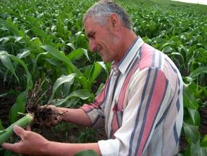 A Hungarian farmer checks root damage. Copyright: J. Papp Komaromi, Szent István University, Hungary.