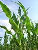 Bt maize. Copyright: Michael Meissle, Agroscope ART, Switzerland
