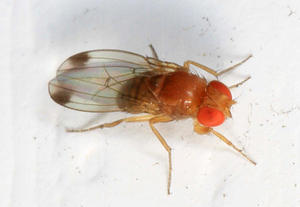 Spotted-winged Drosophila, Drosophila suzukii, Woodbridge, Virginia.